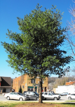 Commissioners question aggressive chopping of county Christmas tree